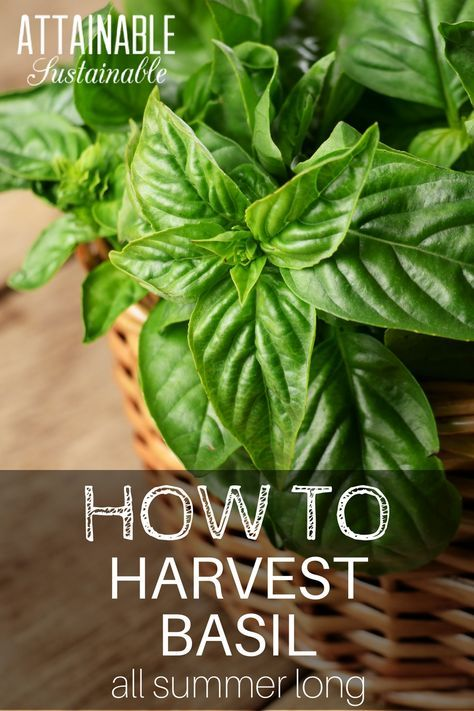Growing basil? Want your basil crop to last all season?Here's how to harvest it to ensure a continuous source of flavorful leaves from your herb garden all summer long. It's easy!
