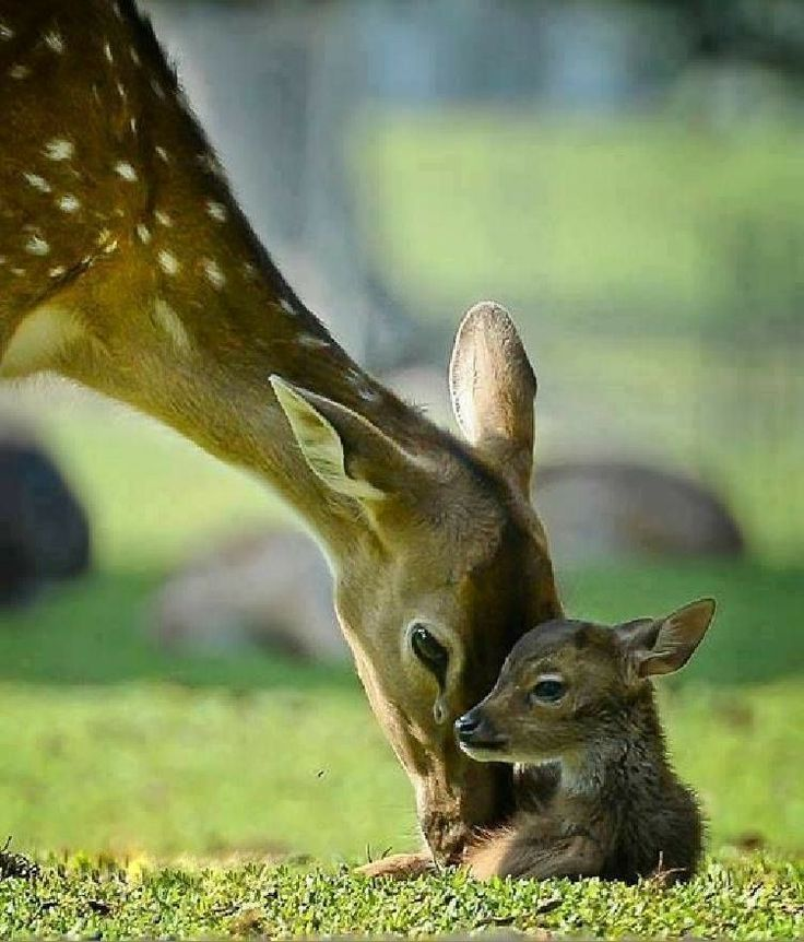 The Deer and her Fawn.