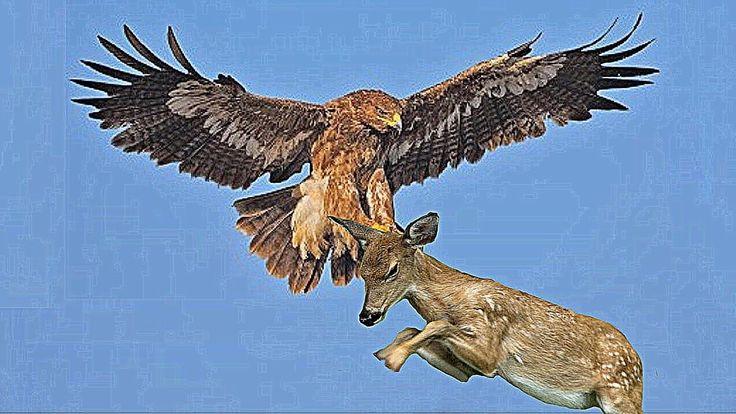 Горные козлы и гигантская птица ( борьба за выживание )