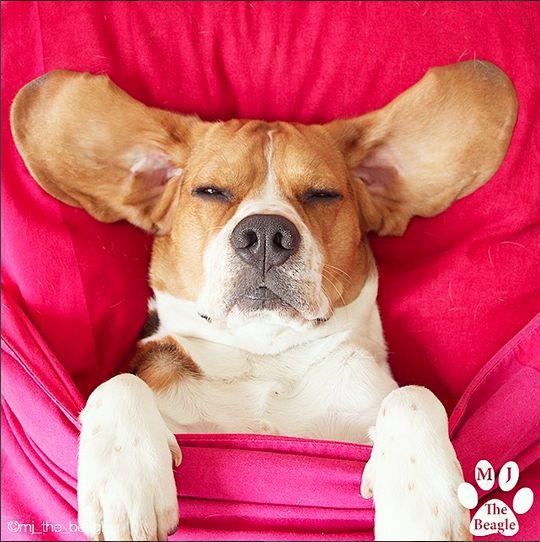 @Mj_the_beagle sur @Polamax !   Découvrez ce toutou de #toulouse pas comme les autres !   #Tirage #Polaroid #Impression #Instagram #cadeau #anniversaire #Toulouse #evenement #entreprise