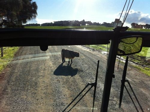Sheep has the first right of way
