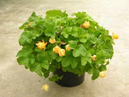 Arom'arctic® Nyby  The arctic cloudberry, THE Scandinavia berry for bog gardens