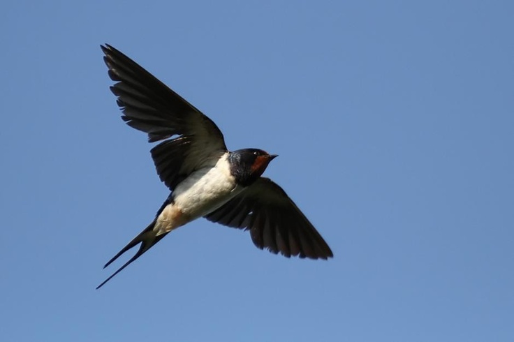Barn Swallow Flying Drawing Reference Pinterest