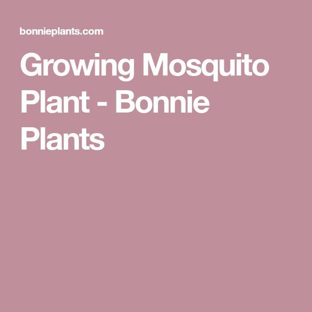 Growing Mosquito Plant - Bonnie Plants