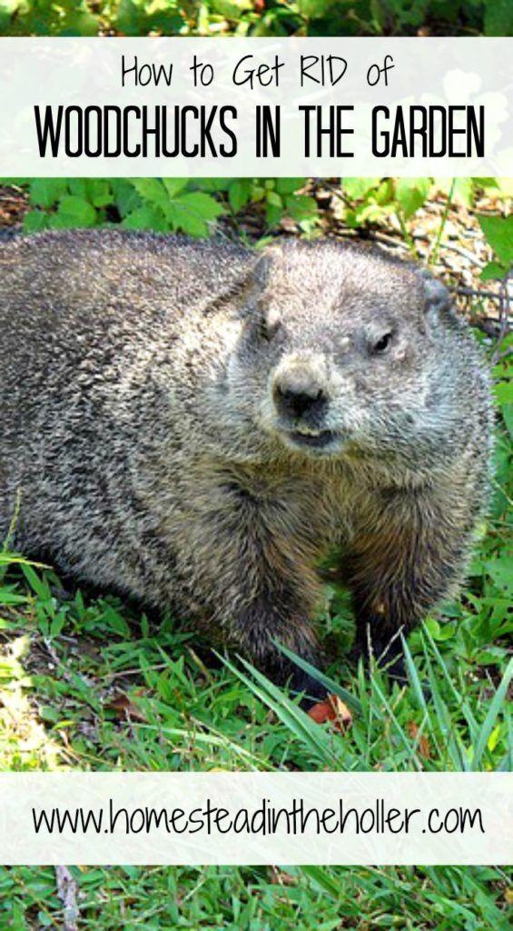 da442f628138c0f20475ce4106038d53 - How To Get Rid Of Groundhogs In Vegetable Garden