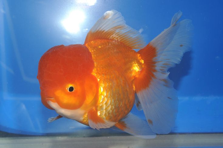 All about oranda goldfish all about goldies goldfish for Koi fish life span