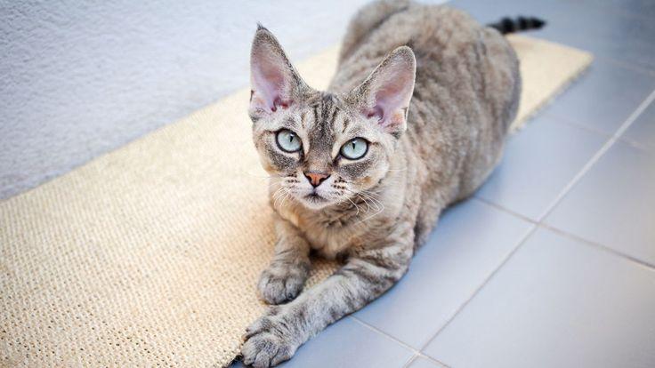 Raza de gato Devon Rex - Salud