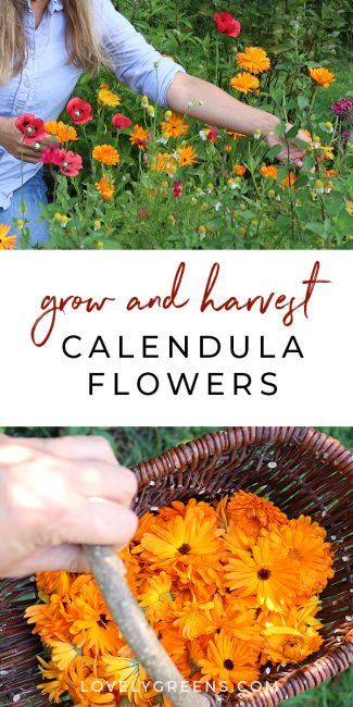 How To Grow Calendula Flowers Sowing Growing And Saving 640 x 480
