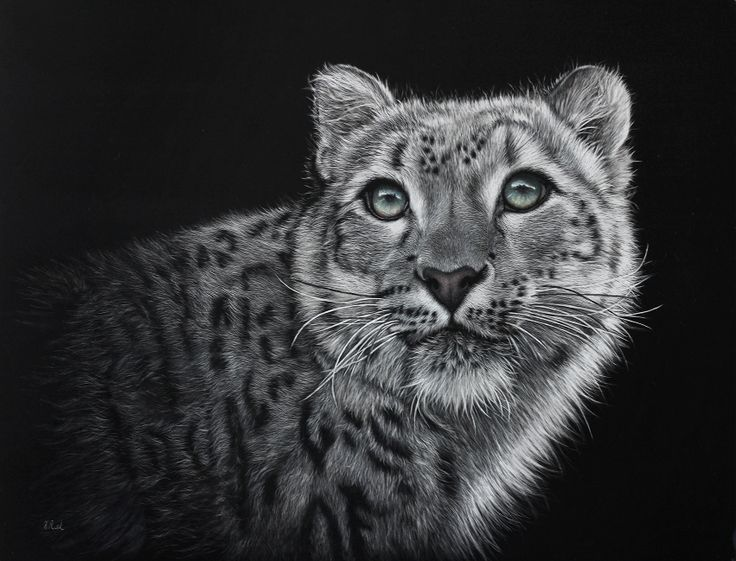 """Himalayan Grey Ghost""  Snow Leopard in scratchboard www.wild-impressions.co.nz"