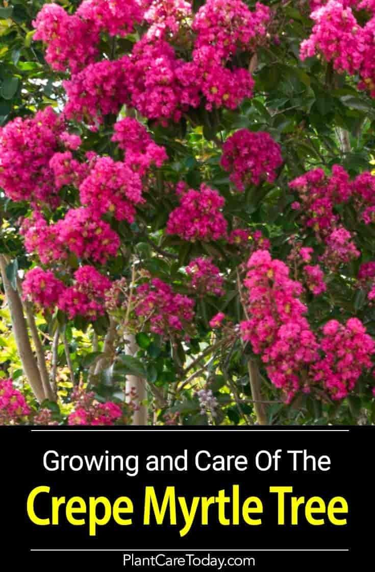 Step By Step Instructions On Pruning Crape Myrtle Crepe Myrtle Trees Crepe Myrtle Landscaping Myrtle Tree