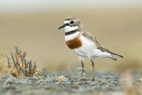 Banded dotterel. Adult in breeding plumage. Napier, Hawke's Bay, December 2009. Image © Neil Fitzgerald by Neil Fitzgerald Neil Fitzgerald: www.neilfitzgeraldphoto.co.nz