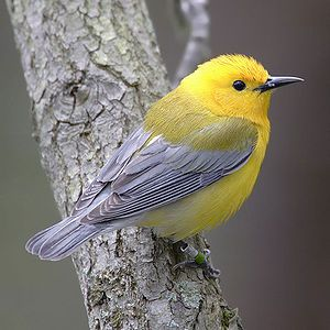 Prothonotary Warbler, small songbird, southern Canada & Eastern US