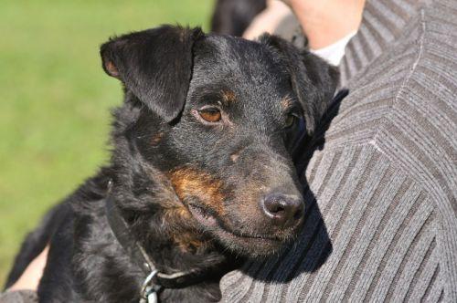 DINO   Type : Jagd Terrier Sexe : Mâle Age : Senior Couleur : noir et feu  Taille : Petit Lieu : Ain - 01 (Rhône-Alpes) Refuge :  Coeur sur pattes(Saône-et-Loire) Tél : 06.31.76.89.69