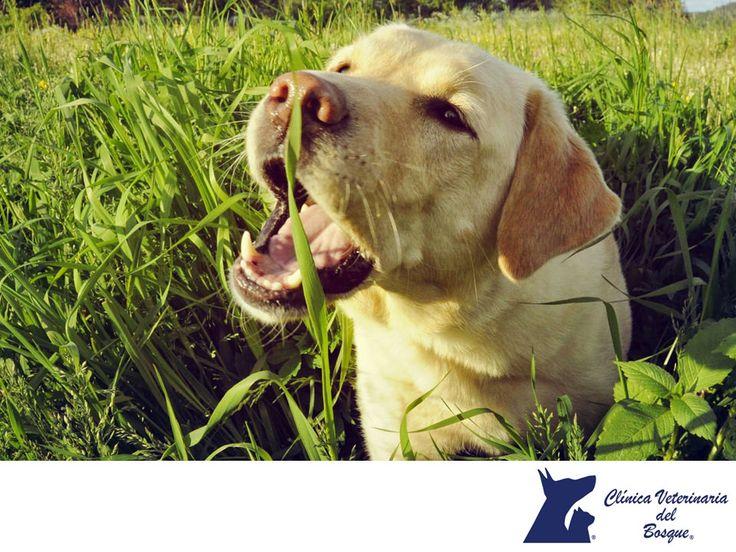 """LA MEJOR VETERINARIA DE MÉXICO. ¿Sabes por qué los perros comen pasto? Es un hábito normal y hay 3 razones principales. Cuando no tienen juguetes para morder o jugar, es una manera de """"pasar el tiempo"""". Además, la hierba aporta fibra a su sistema y mejora su digestión y también, es una forma de auto medicarse, cuando tienen síntomas en el estómago, la consumen para estabilizar o causar el vómito. En Veterinaria del Bosque te damos tips para el cuidado de mascota, visítanos en…"""