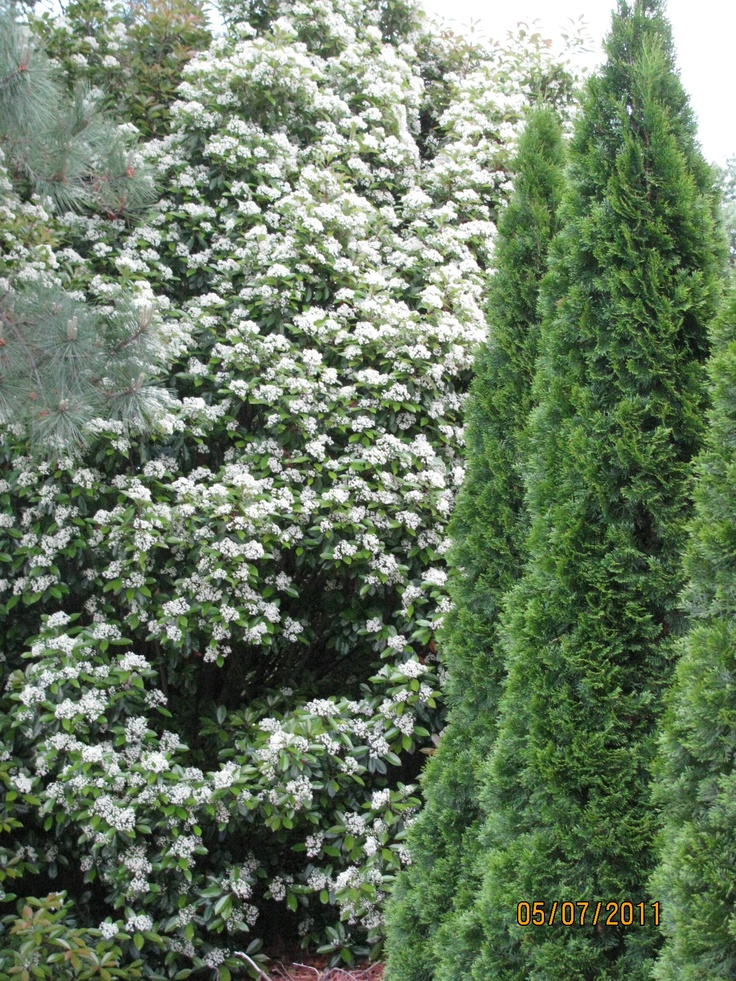 28 Best Images About Landscaping With Arborvitae On