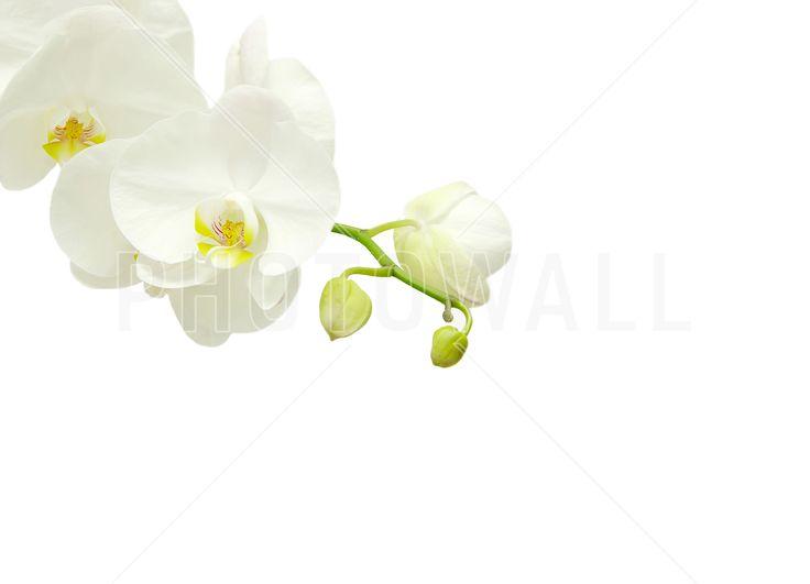 White Elegant Orchid - Fototapeter & Tapeter - Photowall
