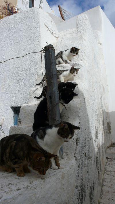 The cats of Santorini