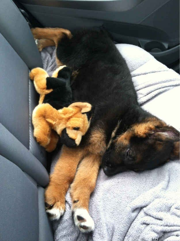 This little puppy cuddled with his mini-me: | 20 Puppies Cuddling With Their Stuffed Animals During Nap Time