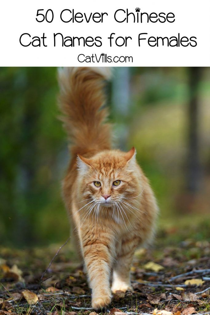 100 Exceptional Chinese Cat Names For Your New Kitten Catvills Cat Names Cats Pet Names
