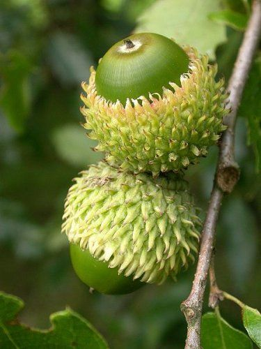 oak tree acorns -Quercus libani seeds