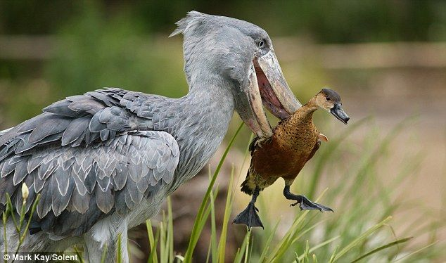 Shoebill picks up duck. Don't worry about the duck.  The duck was in the shoebill's way, so he picked it up and put it down to the side.  :D  This pic is by Mark Kay/Solent.