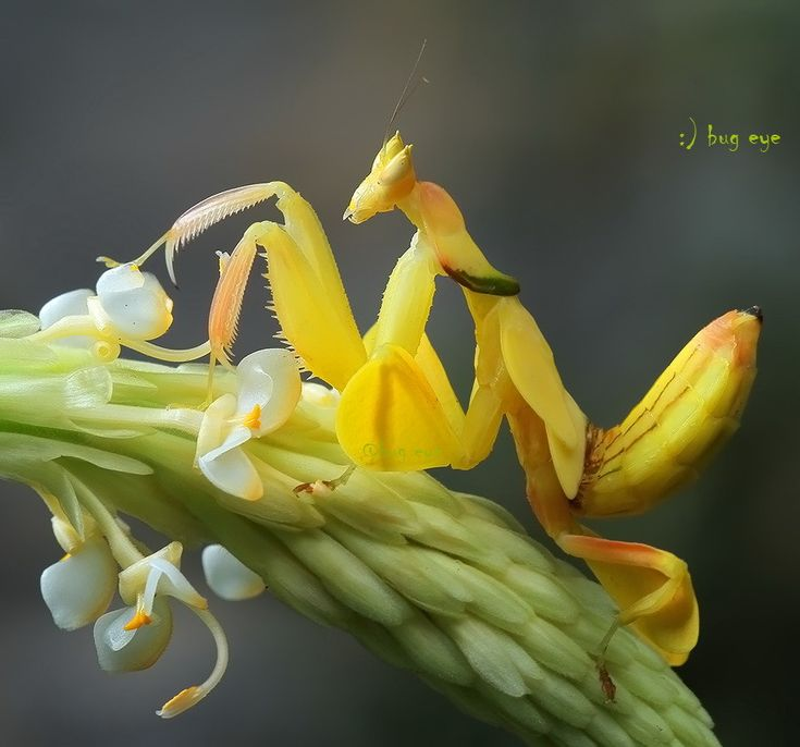 500px / Photo Orchid Mantis by bug eye :)