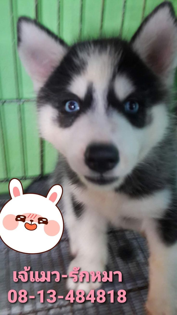 ขายหมาภ เก ต Siberian Husky Phuketไซบ เร ยน ภ เก ต Teacup ช วาว า ปอม 08 13 484818 เจ แมว ร กหมา