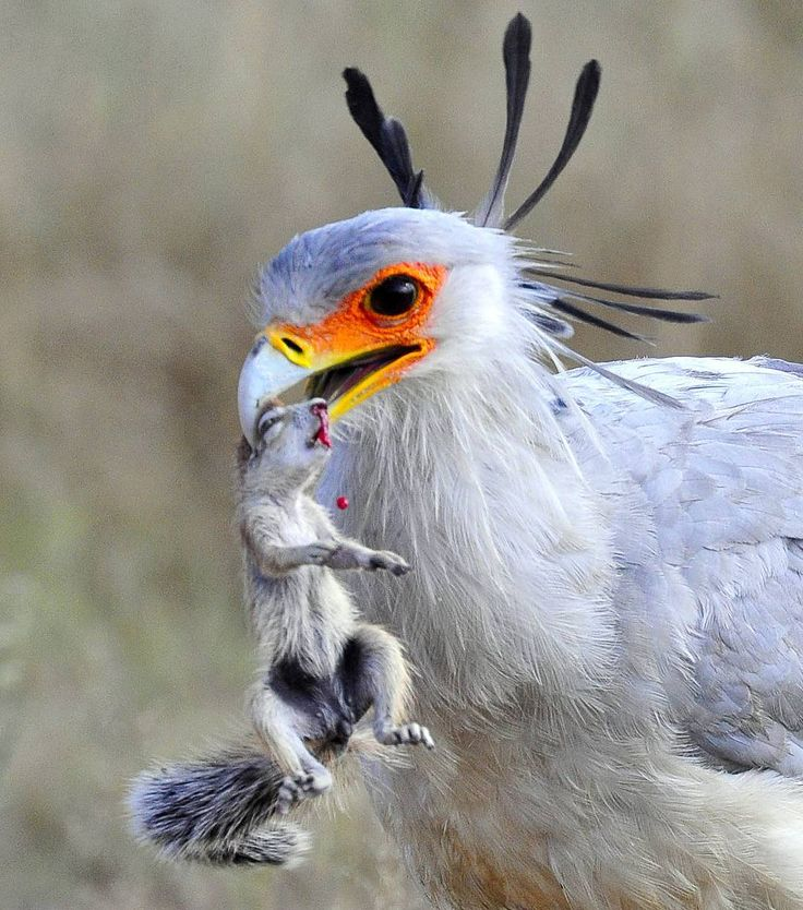 Secretary bird with ground squirrel. We captured this image from Urikaruus wilderness camp. The secretary bird was walking towards the waterhole when suddenly he started stamping - we thought 'snake' but we were amazed to see him lift up this ground squirrel! Image from The Photographer's Guide to the Kgalagadi Transfrontier Park eBook.  http://www.kruger-2-kalahari.com/photographers-guide-to-the-kgalagadi.html
