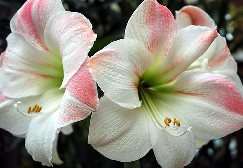 ~~ Amaryllis ~~ I have 2 of these in this color in our sitting room.  I just love them!