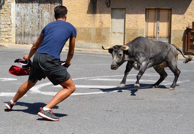 Santacara: Vacas de Pedro Dominguez Año 2015 (3)