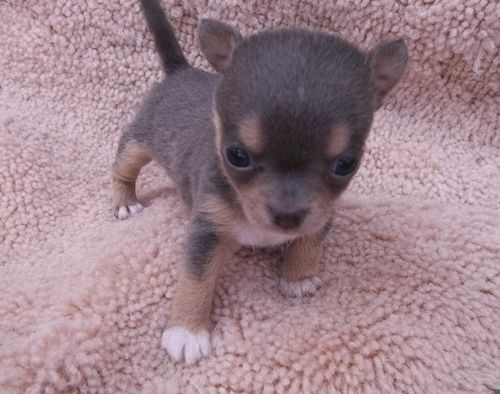 This is a blue apple head Chihuahua puppy from a litter I raised. He is so very tiny. Just so adorable!