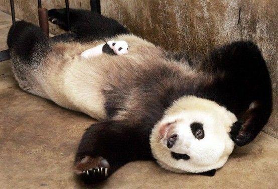 Panda baby sleeps on Mama.