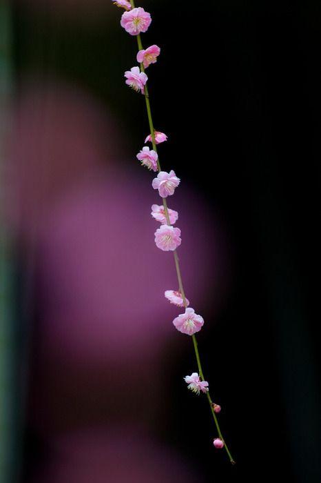 *Couleur Violette, Beautiful Flower, Beautiful Burgundy, Pink Flower, Cherries Blossoms, Bloemenbeauti Flower, Plumauborgin Violets, Bokeh Colors, Purple Flower