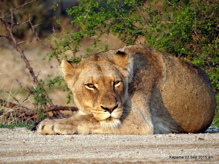 Lioness resting after eating