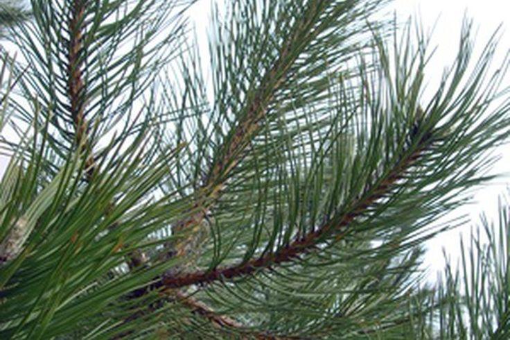 Usos del aceite de pino | Muy Fitness