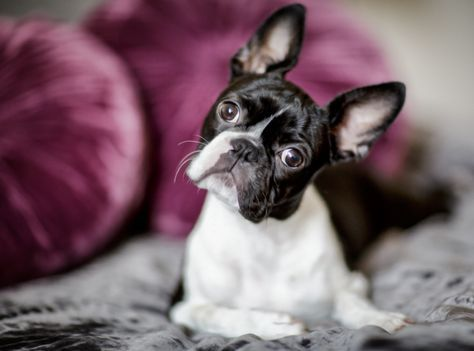 Boston terrier owners think their dogs rule and here's why