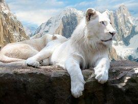 Lev bílí