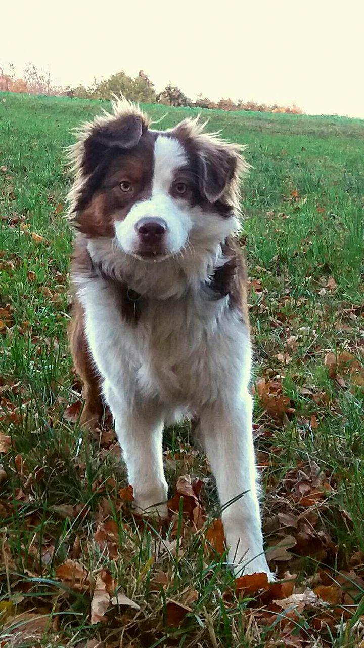 Yuna Ein Australianshepherd Aus Nrw Ist Diese Woche Hund Der Woche Sie Liebt Kopfarbeit Und Ist Stark Bei Der Impulskontrolle Hunde Startbildschirm