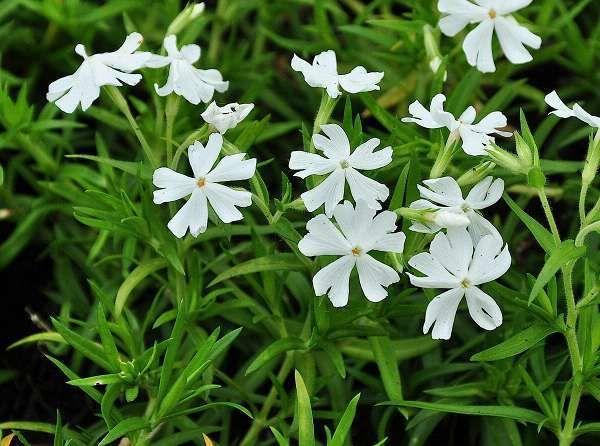 Phlox subulata 'Calvides White'