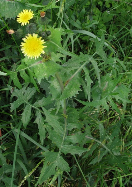 how to eat milk thistle plant