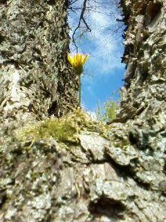 Löwenzahn im Baum