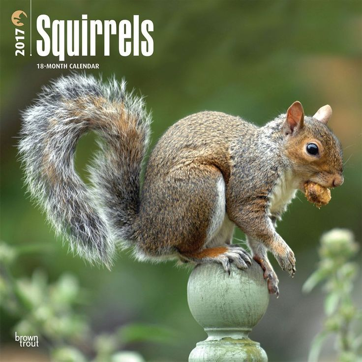 Across Europe, Asia, and the Americas, the squirrel varies in colour and size. These clever animals have a nimble grace that allows them to rise above their small stature.