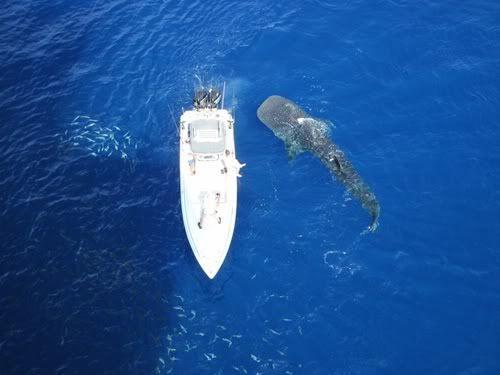 Nado con tiburones ballena, Cancun