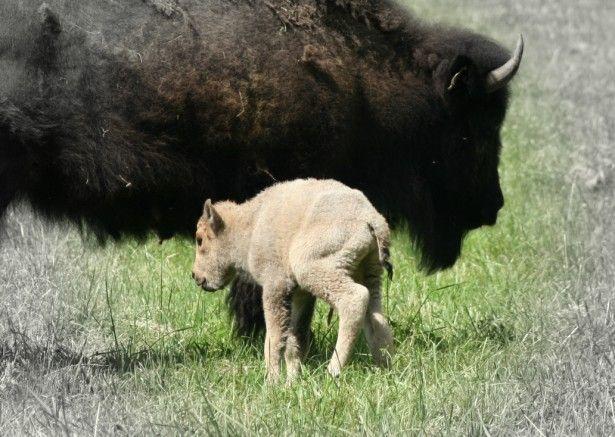 White Buffalo 6-2012 born in Goshen CT.