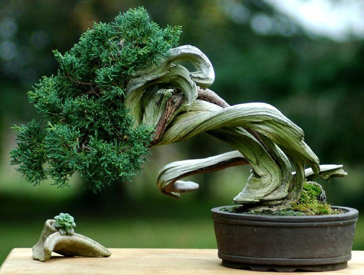 http://www.penjing-bonsai.com/images/ete/ete06/juniperus_tanuki.jpg