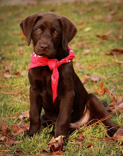 Cute Chocolate Lab Puppy with a Red Bandanna! Look at that face!