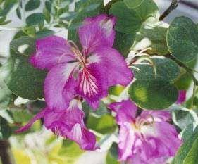 Árbol orquídea, Bauhinia púrpura, Pata de vaca púrpura - Bauhinia purpurea