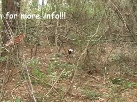 How To Train A Squirrel Dog Training A Squirrel Dog Begins As