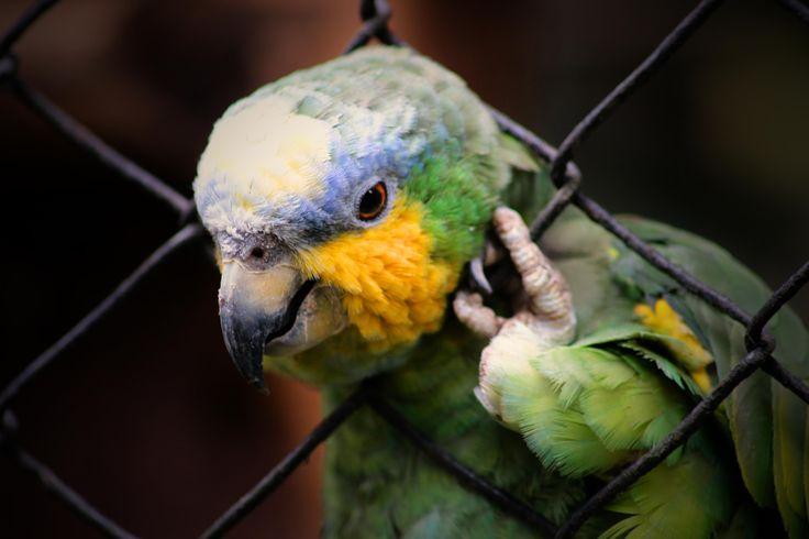 Loro - Santa Cruz Zoo, Colombia