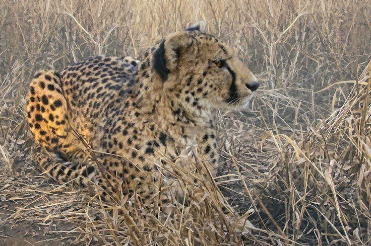 Cheetah sitting in the bush